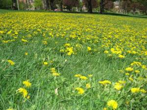 anti cancer dietary strategies part 1 dandelions